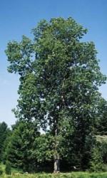 SHAGBARK HICKORy tree 2