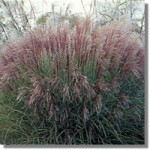 miscanthus-morning-light