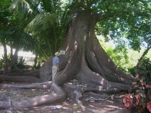 Bot G Ch n Silk Cotton tree