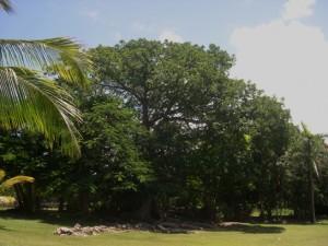 Bot G silk Cotton tree whole