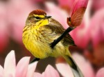 Male_Palm_Warbler