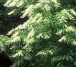 Oxydendron arboreum flowers