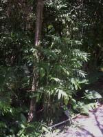 Palm G Bamboo Palm