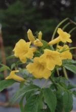 Yellow Elder Bahamas