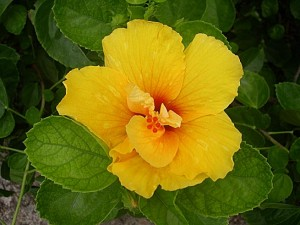a hibiscus cloister