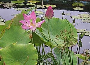 a lotus V G