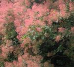 cotinus coryggria Flame