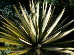 Yucca filimentosa Color Guard