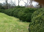 English boxwood over 100 years old.