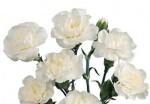 carns mini white