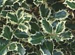 variegated English holly