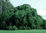 Beech European Weeping Fagus sylvatica 'Pendula' 2
