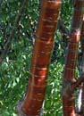 Cherry paperbark Prunus serrula
