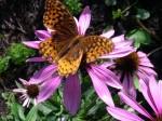 Monarch n cone flower
