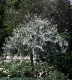 Pear weeping willowleaf P salicifolia 'Pendula'