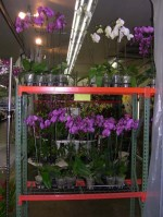 Phal Orchids