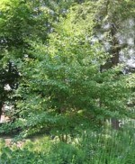Stewartia pseudocamellia F