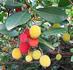 Straberry tree arbutus unedo