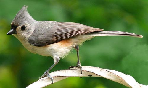 Tufted Titmouse W