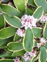 Daphne odora aureo marginata 5
