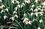 Galanthus Snowdrops cluster 2 O