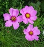 distinguish between annual biennial and perennial plants