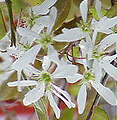 Amelanchier grandiflora flower