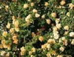 Rose Reve dOr2