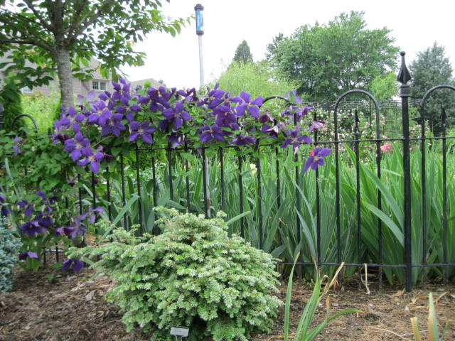 Clematis Jack On Fence