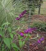 Butterfly bush Karens  271x300