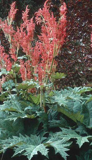 Rhubarb Rheum palmatum Atrosanguineum Me