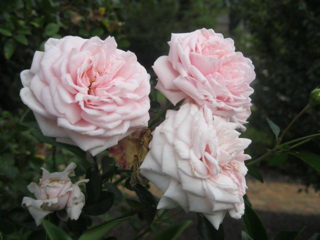 http://www.karensgardentips.com/wp-content/uploads/garden/2010/09/rose-Awakening-fl.jpg