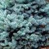 spruce dw blue