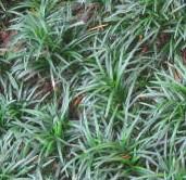 Plants mondo grass