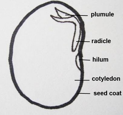 Bean Diagram 2 Copy