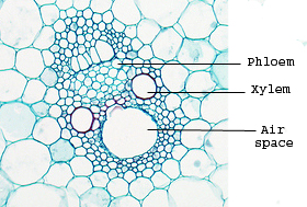 What is the difference between Vascular Bundles in Monocot ...