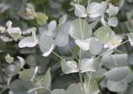 Eucalyptus Gunni Cider Gum2