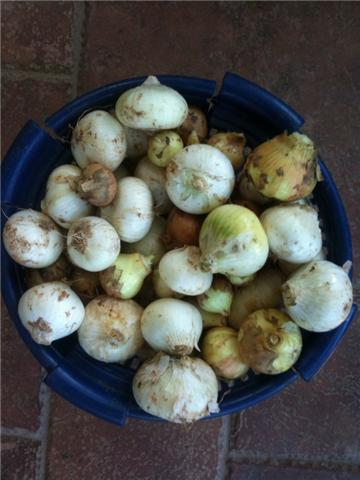 veg onions in basket