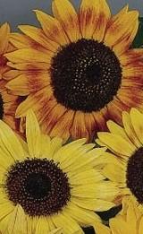 Sunflower_music_box