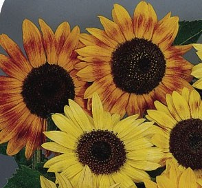 Sunflower_music_box