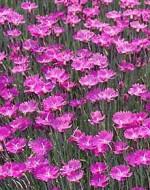 Pink Dianthus_Firewitch