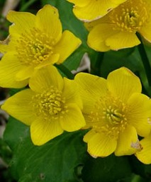 Caltha-palustris-Marsh-Marigold