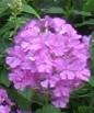 Phlox maculata Meadownphlox
