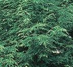 hemlock Canadian tree 2
