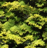 Cypress Golden Chamaecyparis-obtusa-Crippsii-detail