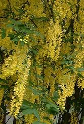 Golden Chain Tree Laburnum x watereri