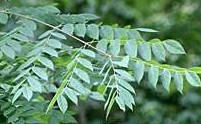 Kentucky doffee tree gymnocladus-dioica lv 2