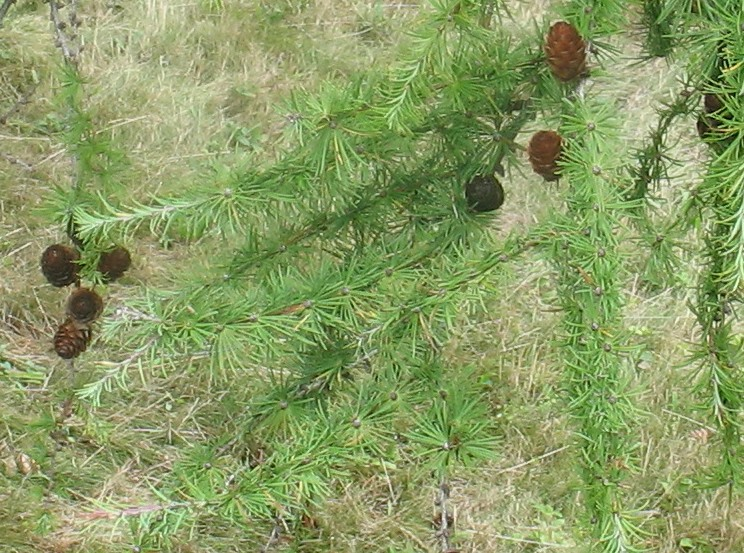 Larch Jap larix kaemptera branches