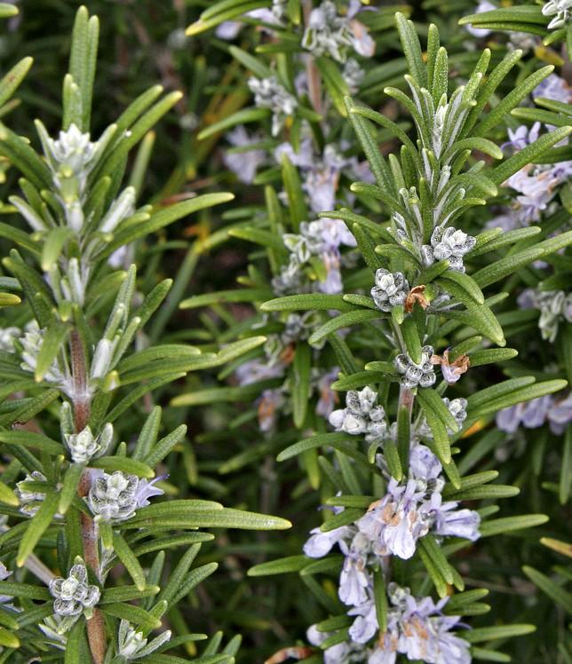 Rosemary_bush Wiki