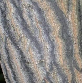 Silver bell Carolina Halesia_tetraptera_bark